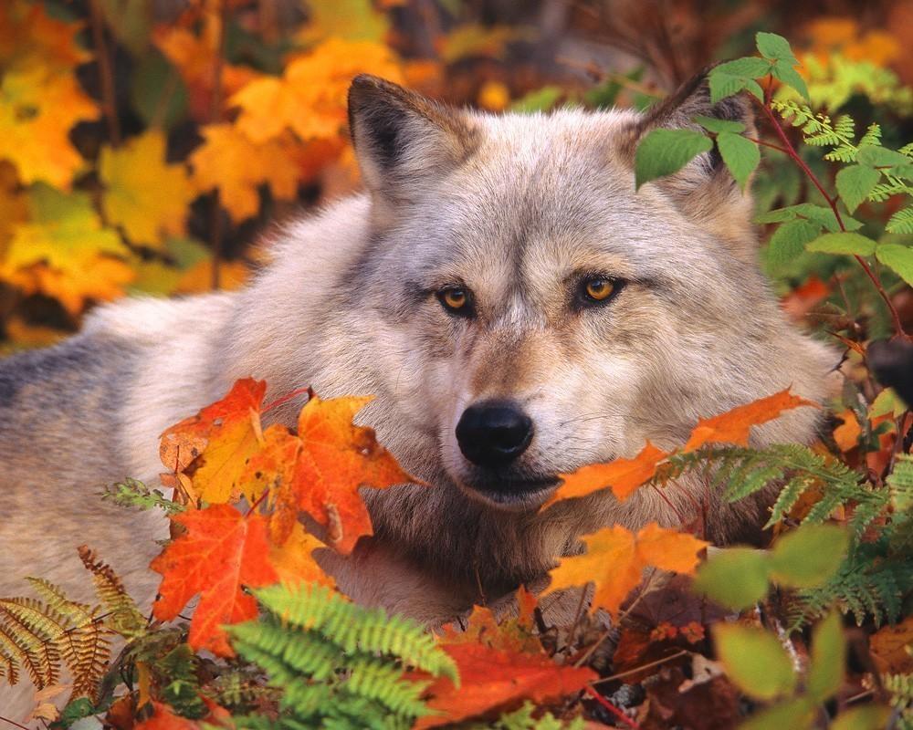 美しい紅葉の季節に一休みする狼